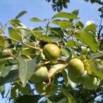 柿渋の抗ウィルス作用