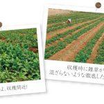 サトウキビの有数の生産地