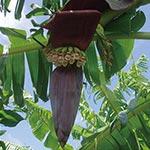 サトウキビの「へぇ~ほぉ~」<br> ~バナナ缶~