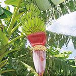 サトウキビの「へぇ~ほぉ~」<br> ~禁断の果実はバナナだった?